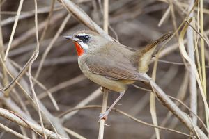 Siberian rubythroat